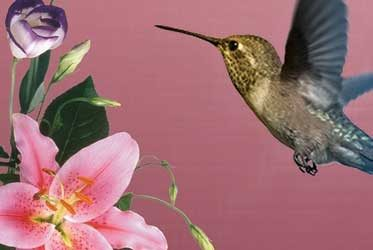A Practice In Sweetness with Royal Hummingbird